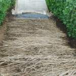 大玉スイカ:畝に茅藁を敷く