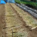 緑肥用麦:天日乾燥麦藁を反転する