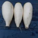 スティックダイコン:1月播種ダイコンの収穫を終える