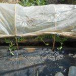 大玉スイカ:1回目の追肥