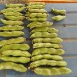そら豆:莢の収穫を始める