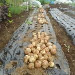 玉ネギ:奥州を収穫する