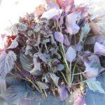 シソ:梅漬け用赤シソの収穫