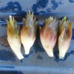 ミョウガ:夏ミョウガを収穫する