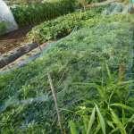 落花生:カラスの食害防止対策