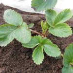 イチゴ:苗の植付け(1)