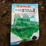 ホウレン草(3):播種