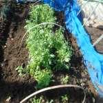 シュンギク(1):追肥・土寄せ