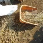 緑肥用麦:種用小麦の脱穀・風選