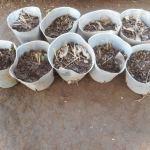 アスパラガス(2):苗の植え付け