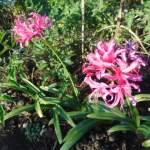 菜園の草花:ダイヤモンドリリーの赤い花
