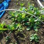 ホウレン草(1):全てを収穫する