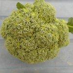 夏播きブロッコリー:主枝の収穫を始める