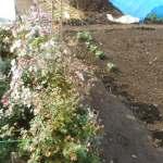 菜園の草花:菊の刈り取り