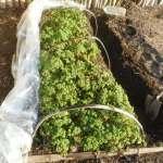 パセリ:収穫・潅水