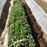ホウレン草(3):収穫を始める
