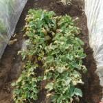 のらぼう菜:苗床の「のらぼう菜」に2回目の追肥