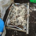 ミニトマト:踏込み温床の発酵を始める