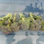夏播きブロッコリー:脇芽の収穫を始める