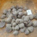 ジャガイモ:種イモの植付け