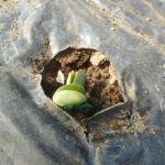 枝豆(1):発芽が始まる