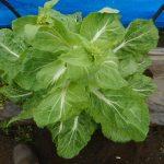 移植白菜:とう立ち菜花の収穫