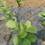 枝豆(1):防虫ネットに切り替える