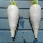 スティック大根:収穫を始める