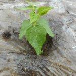 蔓ありインゲン(1):POトンネルを撤去し露地栽培にする