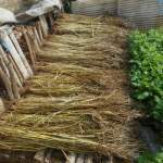 緑肥用麦:乾燥麦藁の貯蔵