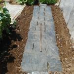 モロヘイヤ:畝づくり