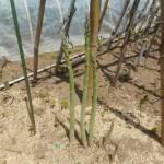 アスパラガス:立茎を始める