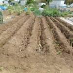 サトイモ:種イモの植付け(2)