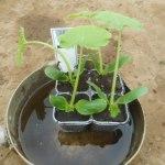 ズッキーニ:苗の植付け