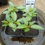 モロヘイヤ:苗の植付け