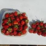 イチゴ:今年のイチゴは大豊作