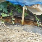 大玉スイカ:1回目の追肥を施す