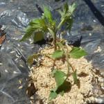 ミニトマト(2):自家製苗の植付け
