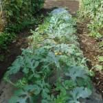 中玉スイカ:露地栽培にする
