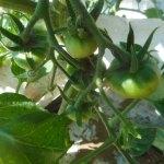 大玉トマト:第一花房の着果が始まる