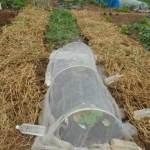 中玉スイカ:畝周りにエンドウの残渣を敷く