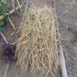 緑肥用麦:種用小麦の刈取り