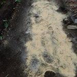 マクワウリ(2):土づくり