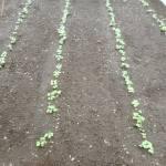 小カブ・赤カブ・チンゲンサイ:発芽が始まる