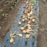 玉ネギ:泉州中玉黄の収穫