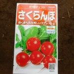 小カブ・赤カブ・チンゲンサイ:赤カブの再播種