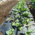 サツマイモ:3回目に植付けた苗が着根する