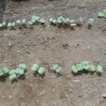 小カブ・赤カブ・チンゲンサイ:赤カブの発芽