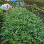 大玉スイカ:カラスの食害対策