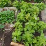シソ(大葉):収穫を始める